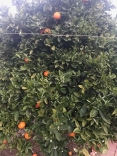 Orange Tree (Navel)