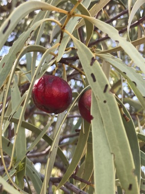 Santalum acuminatum - Quandong / Native Peach