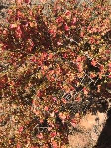 Desert Hop-Bush - Dodonaea stenozyga